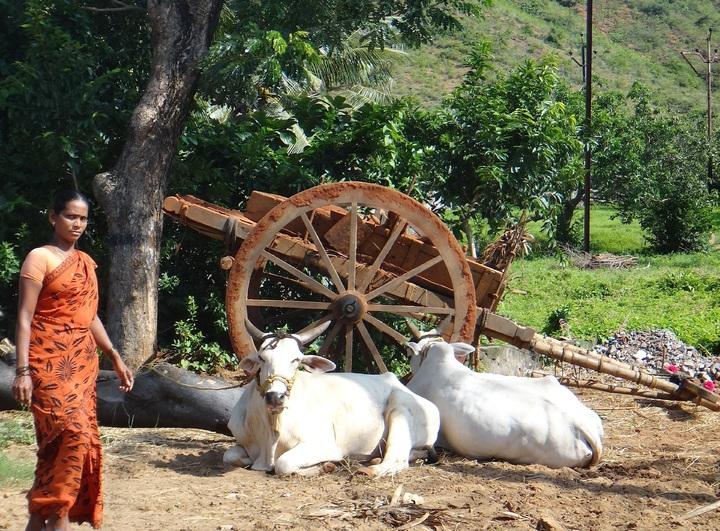 vacas en la India - carnes prohibidas en otras religiones