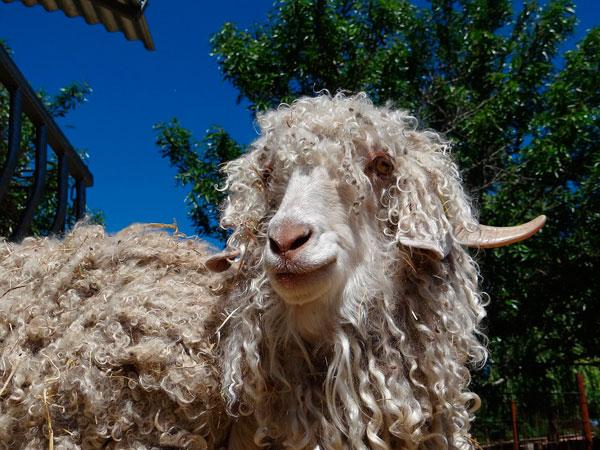 de ella se saca la lana más exclusiva del mundo
