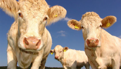 ¿Realmente funciona poner música o ponerles nombre a las vacas?