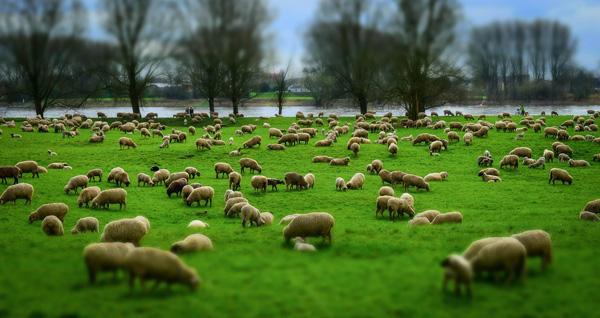 hay 45 razas de ovejas en España