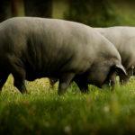Diferencias entre jamón ibérico de bellota y jamón ibérico de cebo