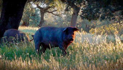 ¿Quieres conocer los mejores cortes del cerdo ibérico?
