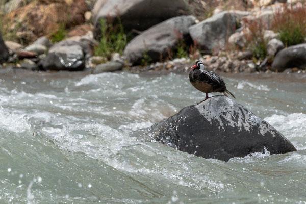 el pato cortacorrientes se encuentra en peligro de extinción