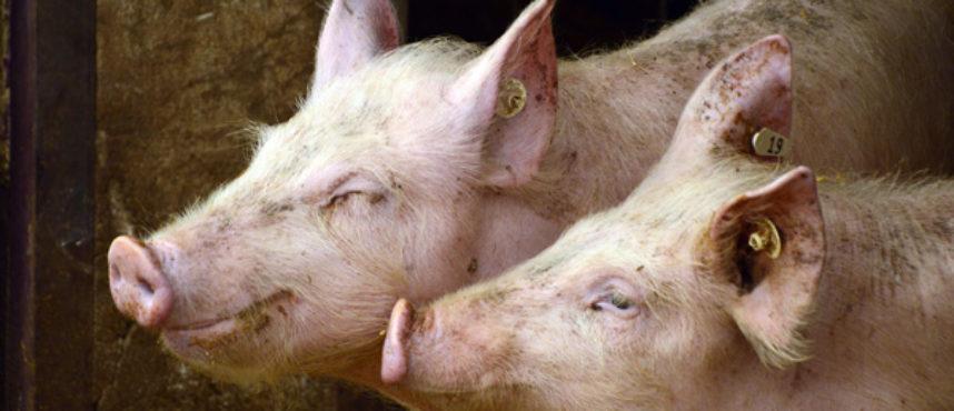 ¡Del cerdo hasta los andares!