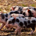 Estos cerdos sí que se merecen perlas