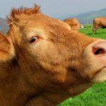 ¿Cuáles son las IGP's de las carnes españolas?