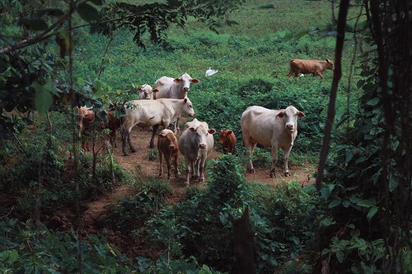 las vacas criadas en libertad contribuyen al medio ambiente